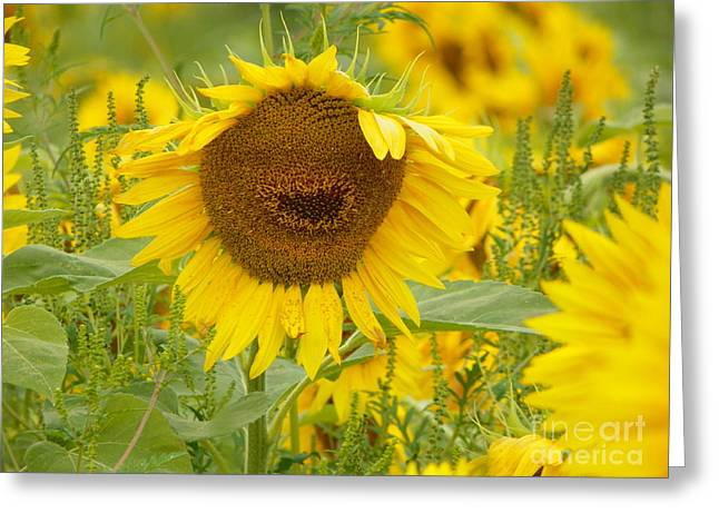 Born Again Photographs Greeting Cards - #933 D964 Plants Are People Too Colby Farm Sunflowers Greeting Card by Robin Lee Mccarthy Photography