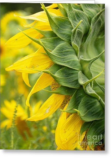 Occasion Greeting Cards - #933 D973 On Looking Colby Farm Sunflowers Greeting Card by Robin Lee Mccarthy Photography