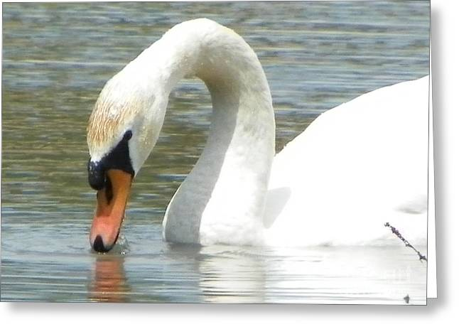 Occasion Greeting Cards - #934 d994 Swan Kenoza Lake Haverhill Massachusetts Greeting Card by Robin Lee Mccarthy Photography
