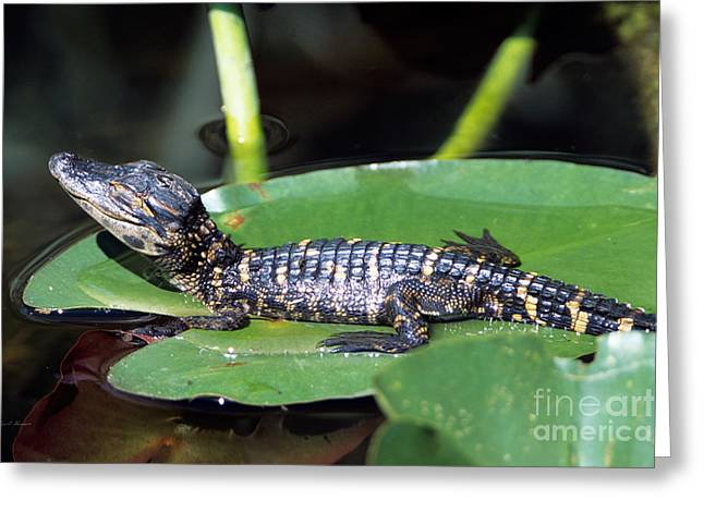 Baby Shark Greeting Cards - A baby alligator resting on a lilly pad Greeting Card by John Harmon