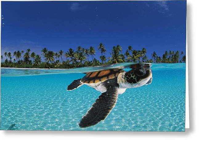 Blue Green Greeting Cards - A Baby Green Sea Turtle Swimming Greeting Card by David Doubilet