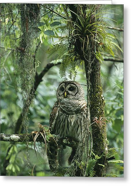 Epiphyte Greeting Cards - A Barred Owl Perches On A Tree Branch Greeting Card by Klaus Nigge