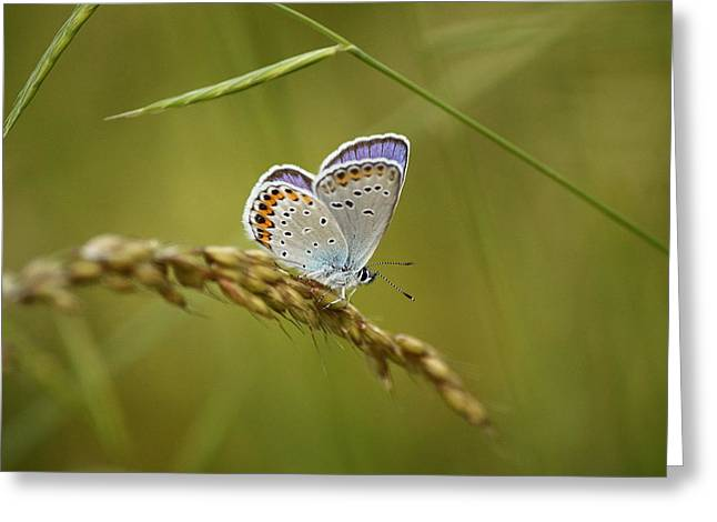Coloured Greeting Cards - A beautiful butterfly in a field Greeting Card by Samantha Mattiello