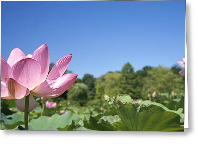 A Beautiful Emperor Lotus Blooms Greeting Card by Richard Nowitz