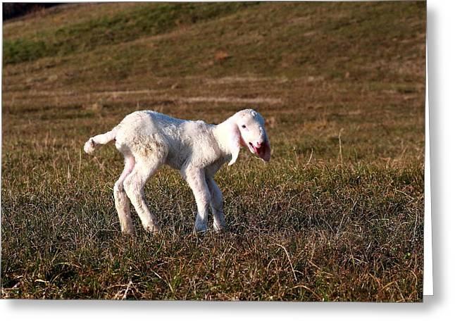 Meadow Greeting Cards - A beautiful white lamb Greeting Card by Samantha Mattiello
