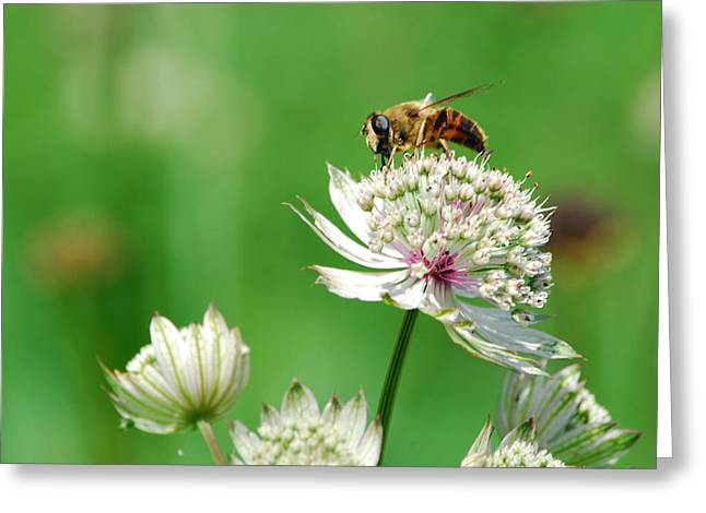 Murren Greeting Cards - A Bee Sipping Nectar From A Wildflower Greeting Card by Anne Keiser