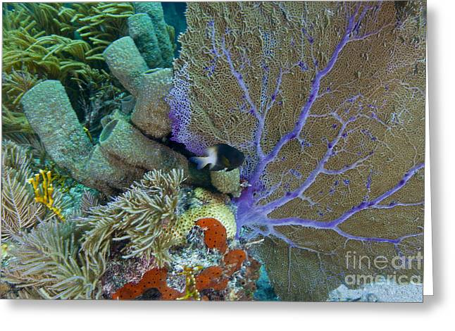 Sea Fan Greeting Cards - A Bi-color Damselfish Amongst The Coral Greeting Card by Terry Moore