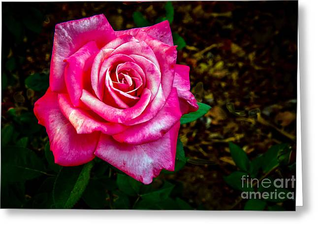 A Bicolor Rose Greeting Card by Robert Bales