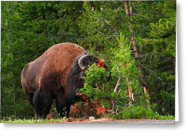 Buffalo Greeting Cards - A big Bull buffalo mauling a tree Greeting Card by Jeff  Swan