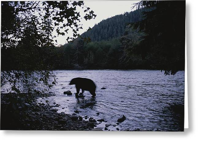 A Black Bear Searches For Sockeye Greeting Card by Joel Sartore