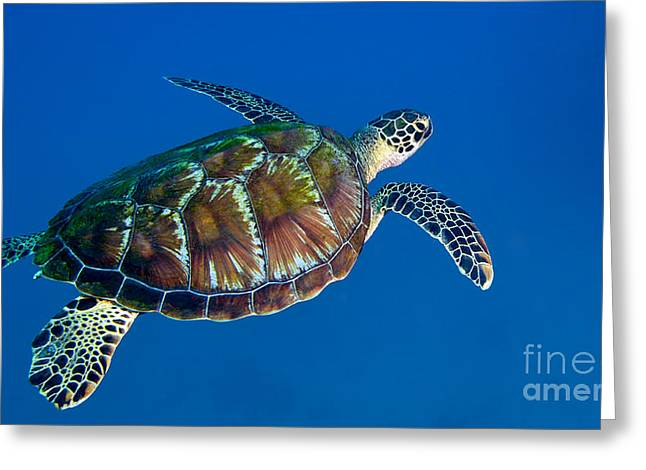 Undersea Photography Photographs Greeting Cards - A Black Sea Turtle Off The Coast Greeting Card by Michael Wood