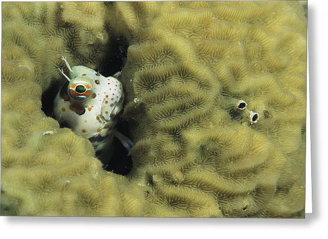Micronesia Greeting Cards - A Blenny Peers Out From Its Coral Greeting Card by Tim Laman