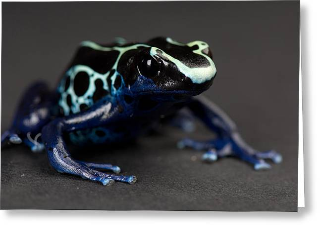 Sunset Zoo Greeting Cards - A Blue And Yellow Poison Dart Frog Greeting Card by Joel Sartore
