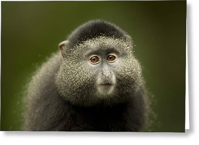 Property-released Photography Greeting Cards - A Blue Monkey Cercopithecus Mitis Greeting Card by Joel Sartore