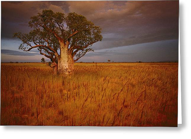 Adaptation Greeting Cards - A Boab Tree Stands Solitary In The Bush Greeting Card by Sam Abell