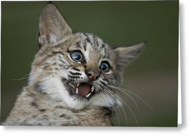 A Bobcat At A Wildlife Rescue Members Greeting Card by Joel Sartore