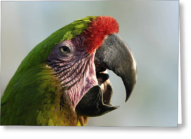 Property-released Photography Greeting Cards - A Buffons Macaw Ara Ambigua Greeting Card by Joel Sartore