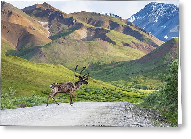 Interior Scene Photographs Greeting Cards - A Bull Caribou Crosses The Park Road Greeting Card by Michael Jones