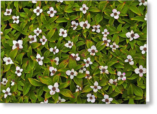 Cornus Greeting Cards - A Bunch of Bunchberries Greeting Card by Tony Beck