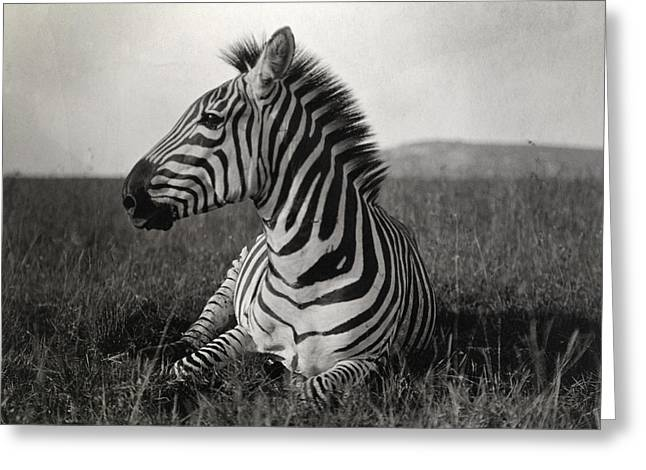 Equus Greeting Cards - A Burchells Zebra At Rest Greeting Card by Carl E. Akeley
