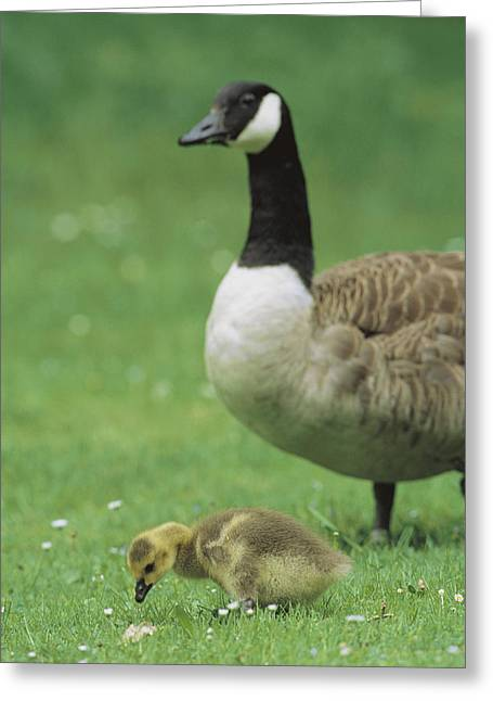 Branta Greeting Cards - A Canada Goose Watches Over Her Gosling Greeting Card by Norbert Rosing