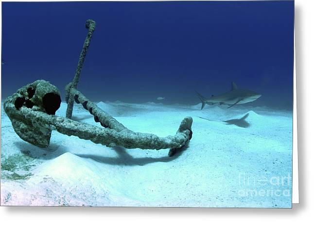 Undersea Photography Greeting Cards - A Caribbean Reef Shark Swims Greeting Card by Amanda Nicholls