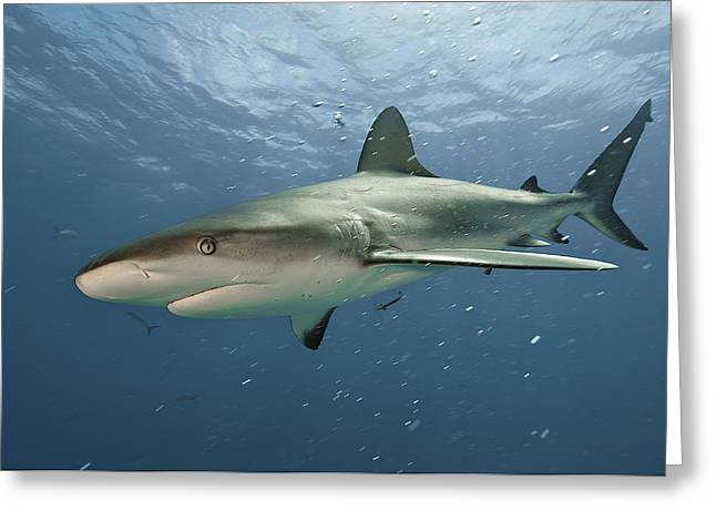Atlantic Islands Greeting Cards - A Caribbean Reef Shark Swimming Greeting Card by Brian J. Skerry