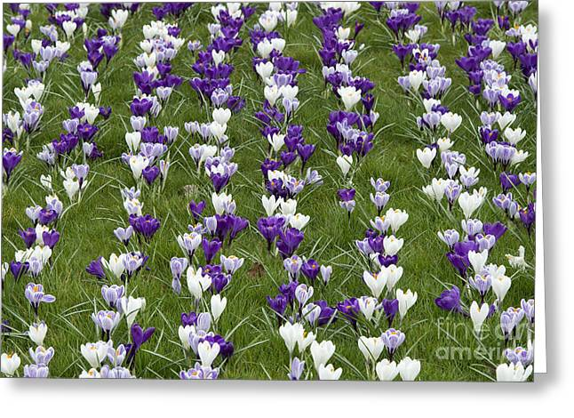 Crocus Flower Greeting Cards - A Carpet of Color Greeting Card by Tim Gainey