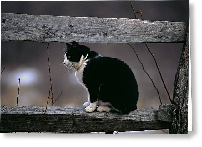 Curled Up Greeting Cards - A Cat Sitting on a Wooden Fence Greeting Card by George Oze
