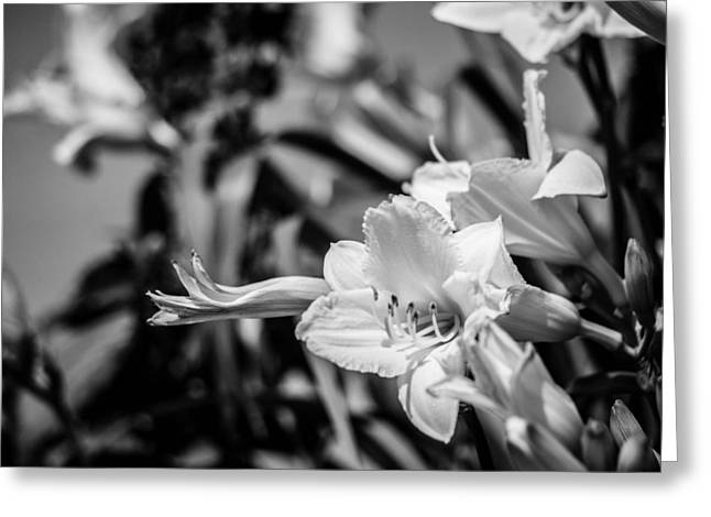 Day Lilly Greeting Cards - Day Lily in Black and White Greeting Card by Cathy Smith