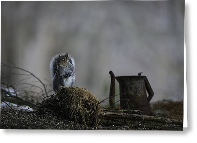 Gray Squirrel Greeting Cards - A Cautious Pause Greeting Card by Everet Regal