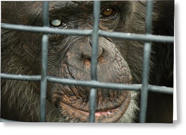 Sunset Zoo Greeting Cards - A Chimpanzee Pan Troglodytes, Blind Greeting Card by Joel Sartore
