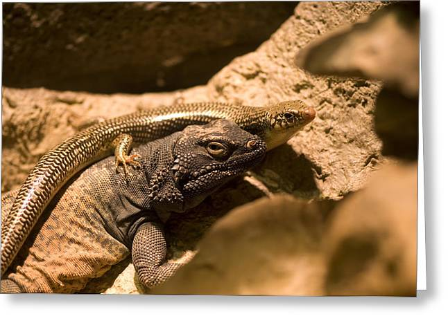 Desert Dome Greeting Cards - A Chuckwalla Lizard And A Skink Greeting Card by Joel Sartore