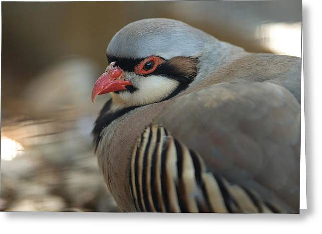 Sunset Zoo Greeting Cards - A Chukar Alectoris Chukar At The Sunset Greeting Card by Joel Sartore