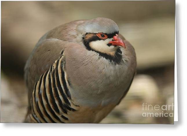 Sunset Zoo Greeting Cards - A Chukar Partridge Alectoris Chukar Greeting Card by Joel Sartore
