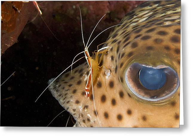 Porcupinefish Greeting Cards - A Cleaner Shrimp Attends Greeting Card by Tim Laman