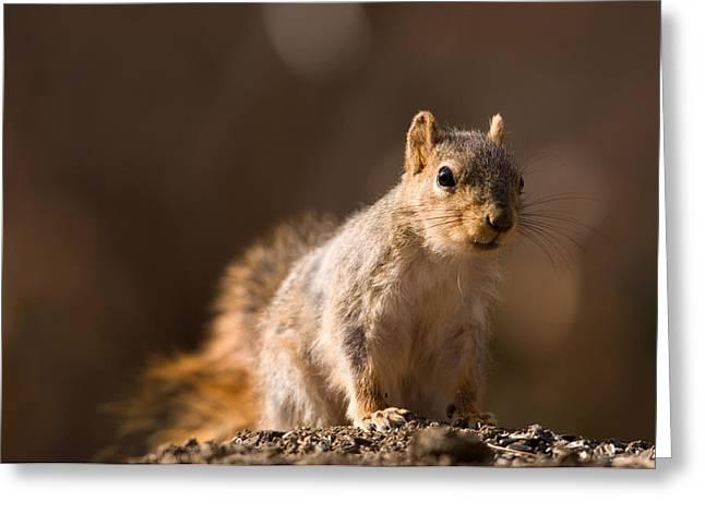 A Close-up Of A Fox Squirrel Sciurus Greeting Card by Joel Sartore