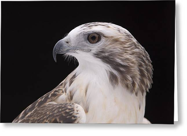Property-released Photography Greeting Cards - A Close-up Of A Kriders Red-tailed Greeting Card by Joel Sartore