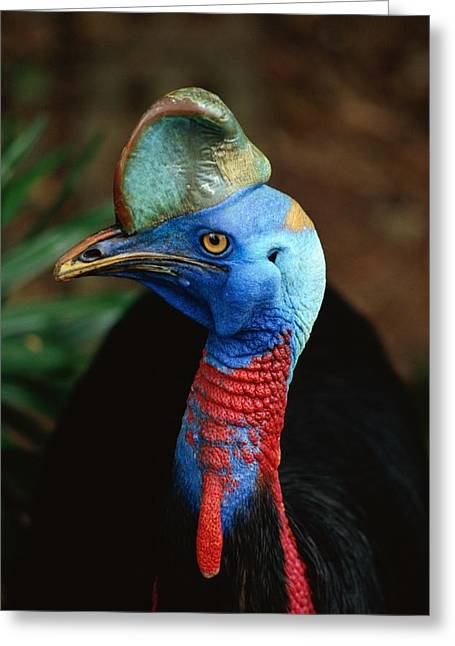 A Close View Of A Cassowary Greeting Card by Tim Laman