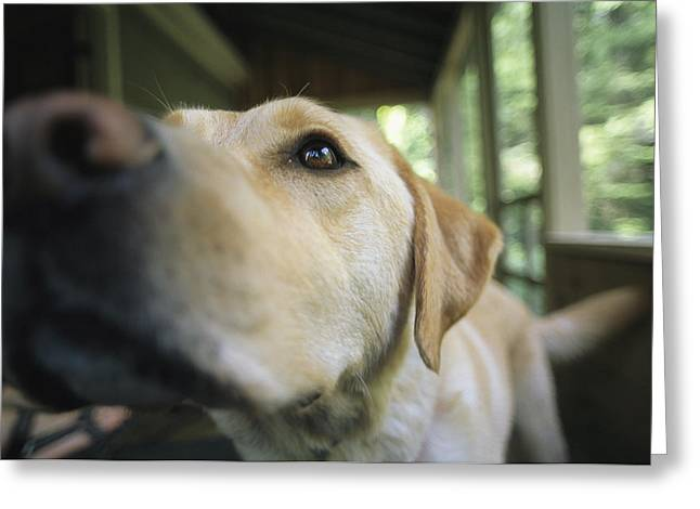 Release Greeting Cards - A Close View Of A Yellow Labrador Greeting Card by Heather Perry