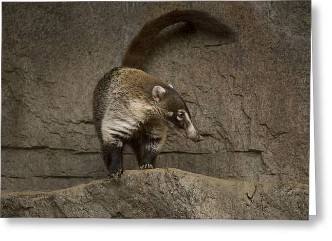 Desert Dome Greeting Cards - A Coatimundi At The Henry Doorly Zoo Greeting Card by Joel Sartore