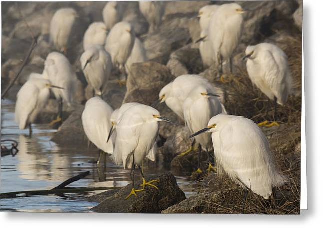 A Congregation Of Egrets Greeting Card by Bruce Frye