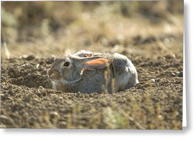 A Cottontail Rabbit At Charles M Greeting Card by Joel Sartore
