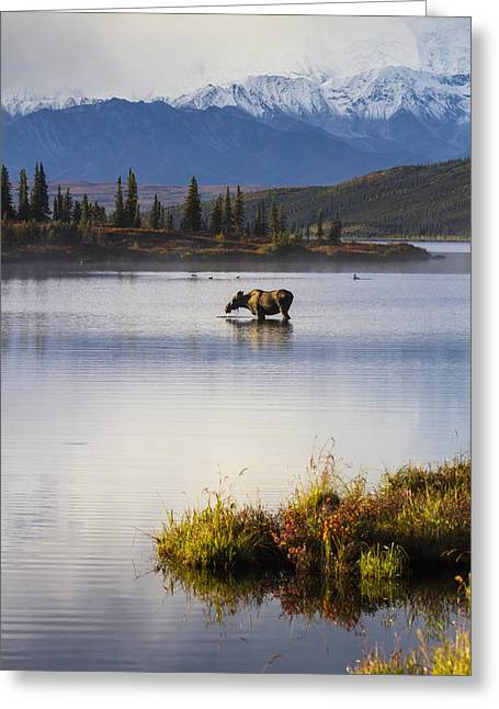 Trees Reflecting In Water Greeting Cards - A Cow Moose Stands In Wonder Lake Greeting Card by Lynn Wegener