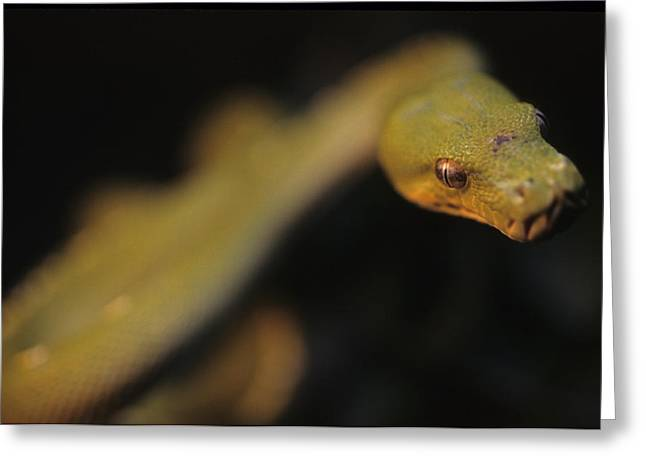 Morphing Photographs Greeting Cards - A Curious Immature Green Tree Python Greeting Card by Taylor S. Kennedy