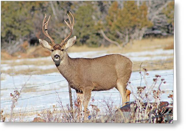 Game Greeting Cards - A Curious Mule Deer Buck Greeting Card by Dale Jackson