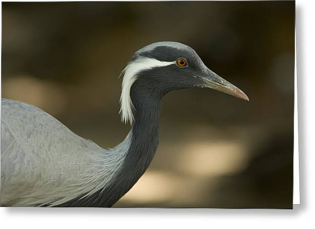 Demoiselles Greeting Cards - A Demoiselle Crane Anthropoides Virgo Greeting Card by Joel Sartore