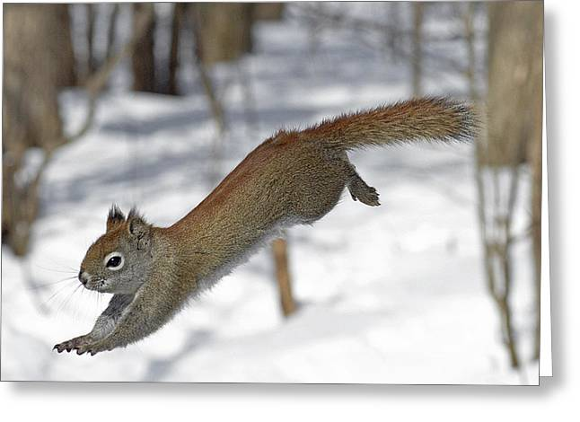 Sciurus Carolinensis Greeting Cards - A devil named American red squirrel Greeting Card by Asbed Iskedjian