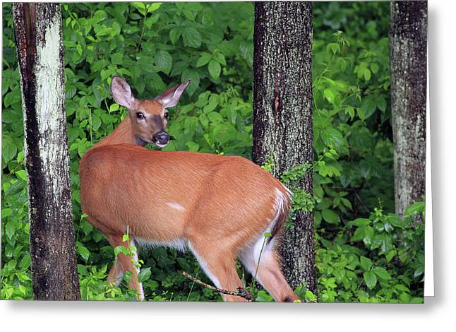 A Doe Within The Trees Greeting Card by Karol Livote