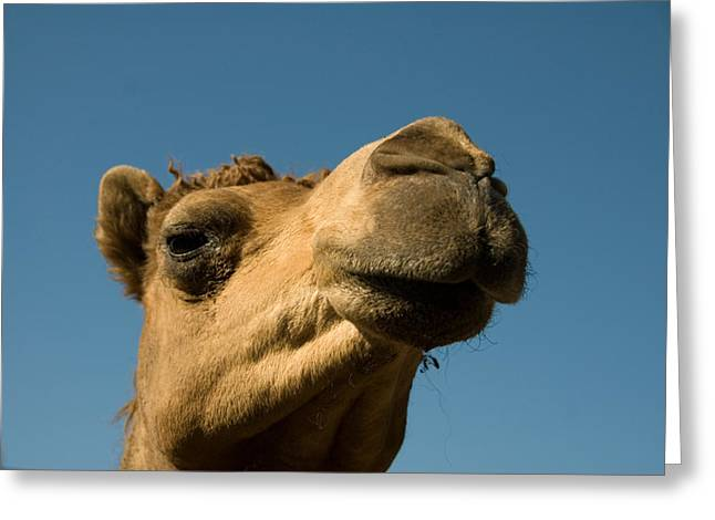 Dromedary Greeting Cards - A Dromedary Camel At The Lincoln Greeting Card by Joel Sartore